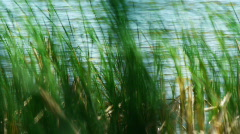 Sedge and wind5 - stock footage