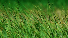 Sedge and wind4 - stock footage