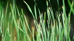 Sedge and wind7 - stock footage