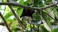 Old World Fruit Bat hanging in tree sunny day Footage