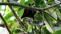 Old World Fruit Bat hanging in tree sunny day Stock Footage