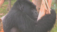 A large mountain gorilla attacks a eucalyptus in Rwanda. Stock Footage