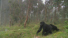 Gorilla and baby walk through farmers fields in the mist in Rwanda. - stock footage