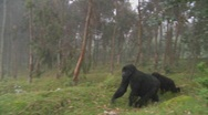 Stock Video Footage of Gorilla and baby walk through farmers fields in the mist in Rwanda.