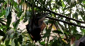 Megabats Old World Fruit Bats hanging out sunny day Footage
