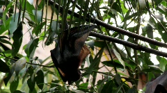 Megabats Old World Fruit Bats hanging out sunny day Stock Footage