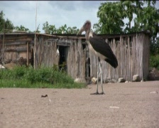 Marabu Stock Footage