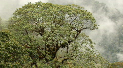 Tree in cloudforest in the Ecuadorian Andes - stock footage