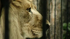 Lion zoo - stock footage