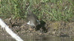 P01007 Spotted Sandpiper Eating Stock Footage
