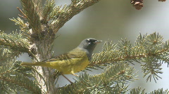 P01008 MacGillivray's Warbler in Spruce Stock Footage