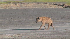 A hyena walks along a road in the savannah of Africa. Stock Footage
