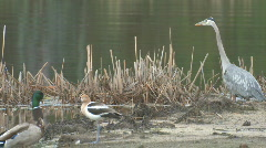 P01020 Wetland Birds Stock Footage