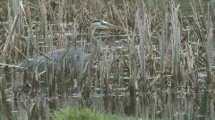 P01022 Great Blue Heron in Marsh Stock Footage