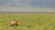 Stock Video Footage of A proud male lion stands on the plains of Africa.