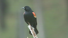 P01025 Red-winged Blackbird on Cattail Plant Stock Footage