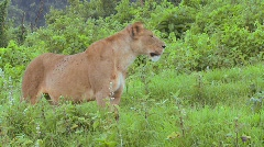 A female lion poses proudly. Stock Footage