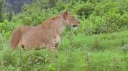 Stock Video Footage of A female lion poses proudly.