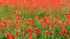 Field of poppies Stock Footage