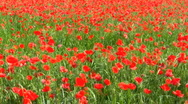 Stock Video Footage of field of poppies