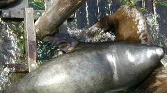 California sea lions on wharf   7500-1 Stock Footage