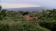 Stock Video Footage of A female lion poses proudly against mountains in Africa.