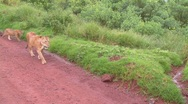 A female lion walks with babies along a road in Africa. Stock Footage