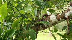 Soursop or Guanabana (Annona muricata) Stock Footage