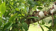 Stock Video Footage of Soursop or Guanabana (Annona muricata)