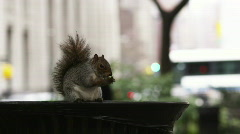 Squirrel in Madison Square Park Stock Footage
