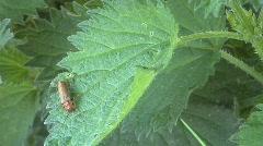 Beetle on nettles Stock Footage