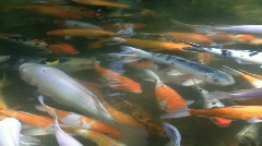 Goldfishes in Pond Stock Footage