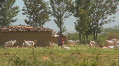 Masai tribesmen herd their cattle outside a village in Kenya. Stock Footage