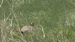 P01036 Ring-necked Pheasant Cock Stock Footage