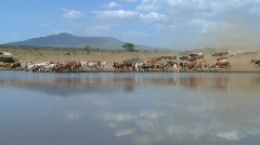 Cattle move around a watering hole in Africa. Stock Footage