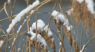 Stock Video Footage of HD Desolate Frosty bulrushes in winter landscape