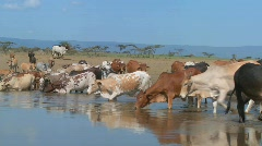 Cows and cattle drink from a watering hole in Africa. Stock Footage