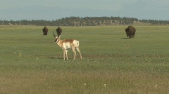 P01040 Pronghorn Antelope and Bison on Prairie Dog Town - stock footage