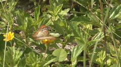 P01043 Butterfly in Jamacia Stock Footage