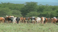 Masai tribesman herd their cattle in kenya. Stock Footage