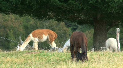 Alpaca Stock Footage