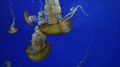 Sea Nettle Jellyfish Stock Footage