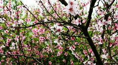 Peach blossom 1 Stock Footage