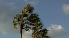 Palm Trees In Strong Wind Stock Footage