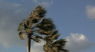 Stock Video Footage of Palm Trees In Strong Wind