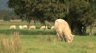 Bull in grass-land Stock Footage