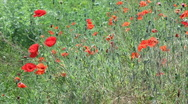 Poppy field (Full HD) Stock Footage