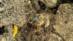 Ants attacking a bee. Stock Footage