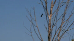 Crow and red-winged blackbird Stock Footage