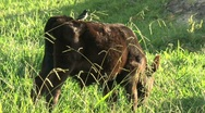 Cow with little bird Stock Footage